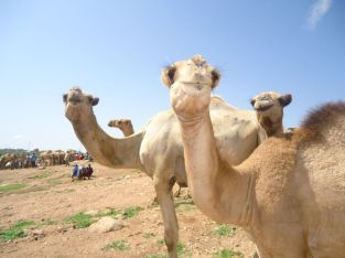 Can't Get Enough Camels!